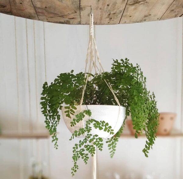 A Avenca é uma planta ornamental que fica linda em diferentes espaços da casa