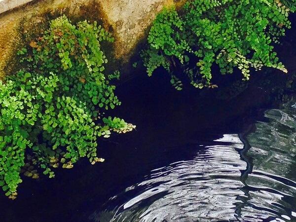 A Avenca normalmente cresce próximo à beira de rios, entre pedras ou debaixo de plantas maiores