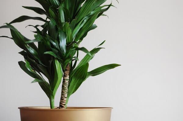 A Dracena é uma planta descomplicada e resistente