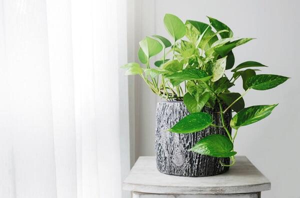 A Jiboia é uma planta tropical e resistente