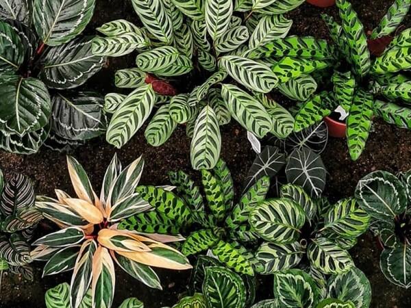 A Maranta traz um toque de verde especial ao ambiente