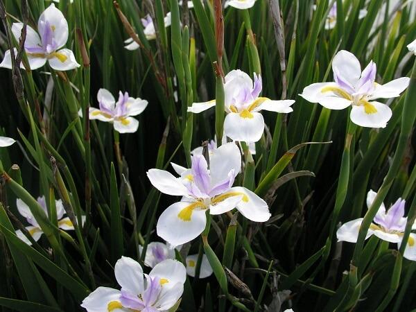 A Moreia é indicada para formar maciços ou bordaduras