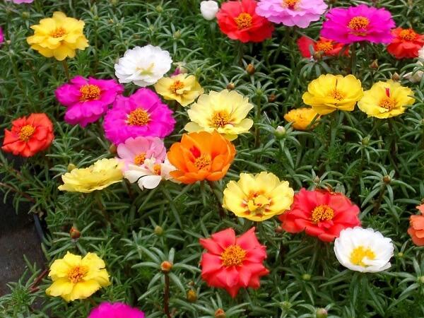 A onze-horas é uma das opções de flores fáceis de cuidar plantar e cuidar