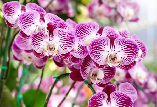 A Orquídea é uma das flores fáceis de cuidar plantar e cuidar