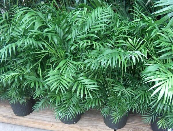 A Palmeira Chamaedora cresce muito bem em ambientes internos