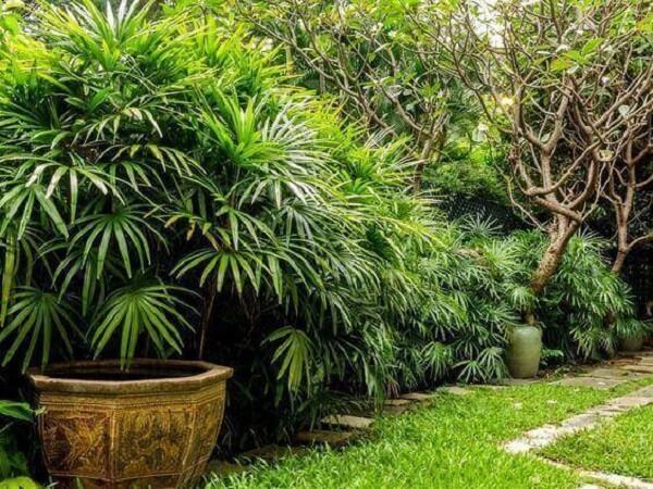 A Palmeira ráfia apesar de apreciar a umidade, ela não tolera o encharcamento
