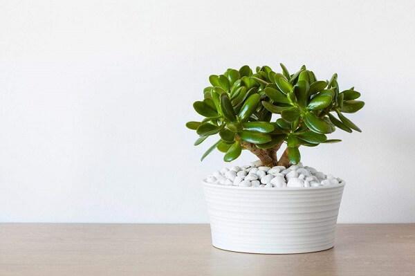 A Planta Jade é uma das opções de plantas fáceis de cuidar em vasos