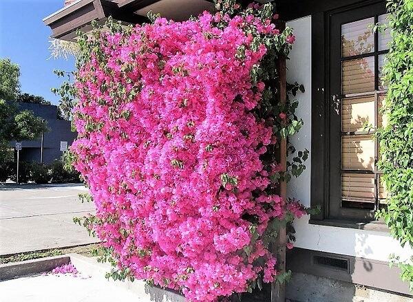 A Primavera é uma das flores fáceis de cuidar plantar e cuidar