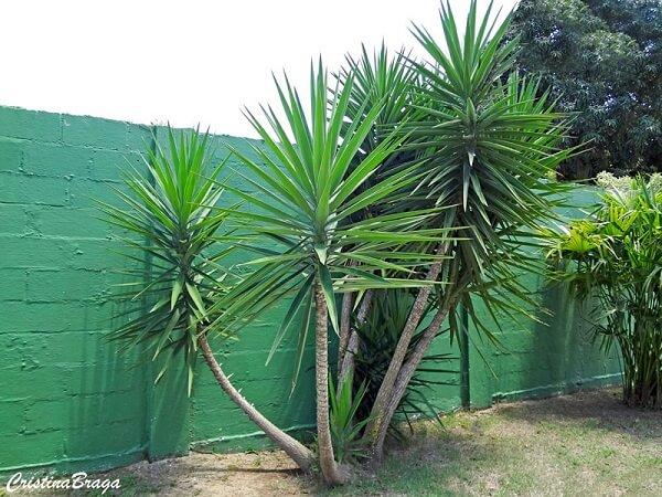 A Yuca é uma planta que sempre seduz pela elegância e beleza