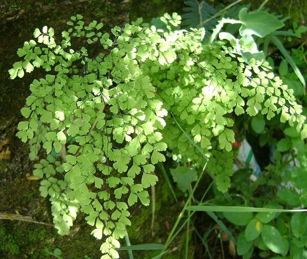 A avenca é uma planta decorativa que pode ser usada em ambientes internos ou externos