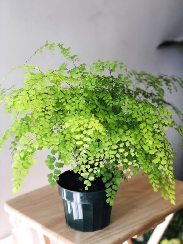 Como cuidar de avenca em vaso em locais bem úmidos e quentes
