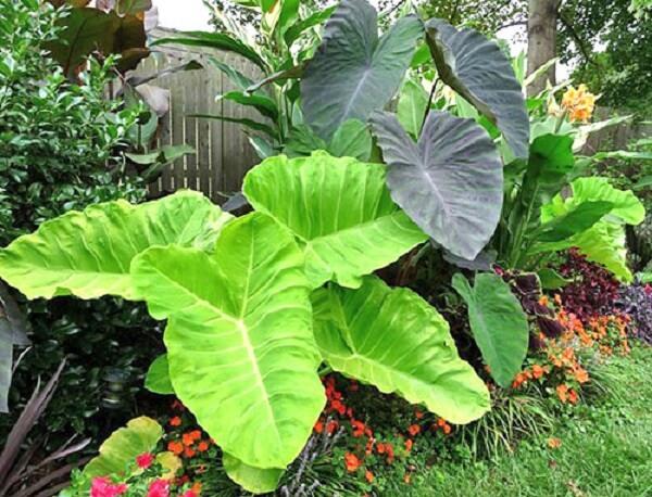Alocasia gigante cultivada em jardim