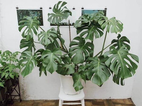 As folhas da Costela de Adão se destacam na decoração