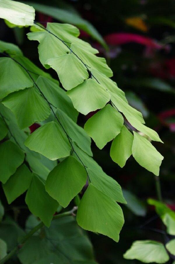 As folhas da avenca são muito sensíveis e por isso não suportam vento