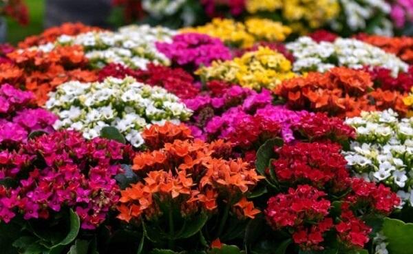 Kalanchoe ou flor da fortuna é uma das plantas baratas e fáceis de cuidar
