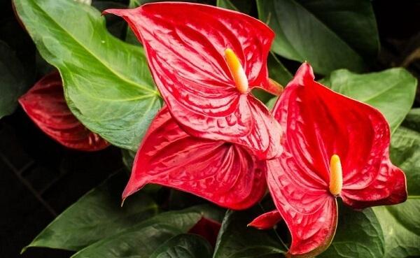 O Antúrio é uma das opções de plantas fáceis de cuidar em vasos