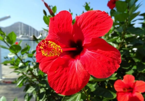 O Hibisco é uma das opções de plantas fáceis de cuidar para jardim