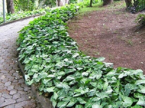 O Singônio é uma planta que pode ser cultivada em vasos, em canteiros ou se transformar em uma trepadeira escalando muros e árvores