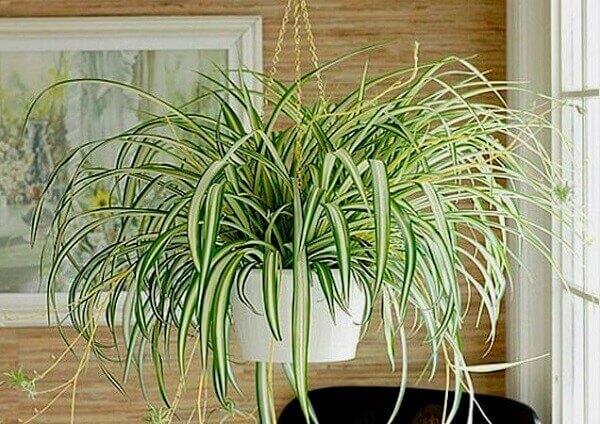 O clorofito pode ser cultivado a meia-sombra ou sol pleno