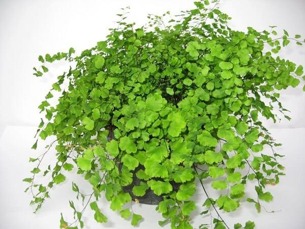 Procure borrifar água nas folhas também quando o clima estiver muito seco
