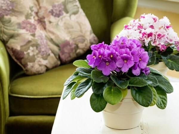 Violeta é uma das plantas baratas e fáceis de cuidar