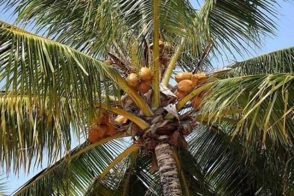 Conheça as características do coqueiro anão
