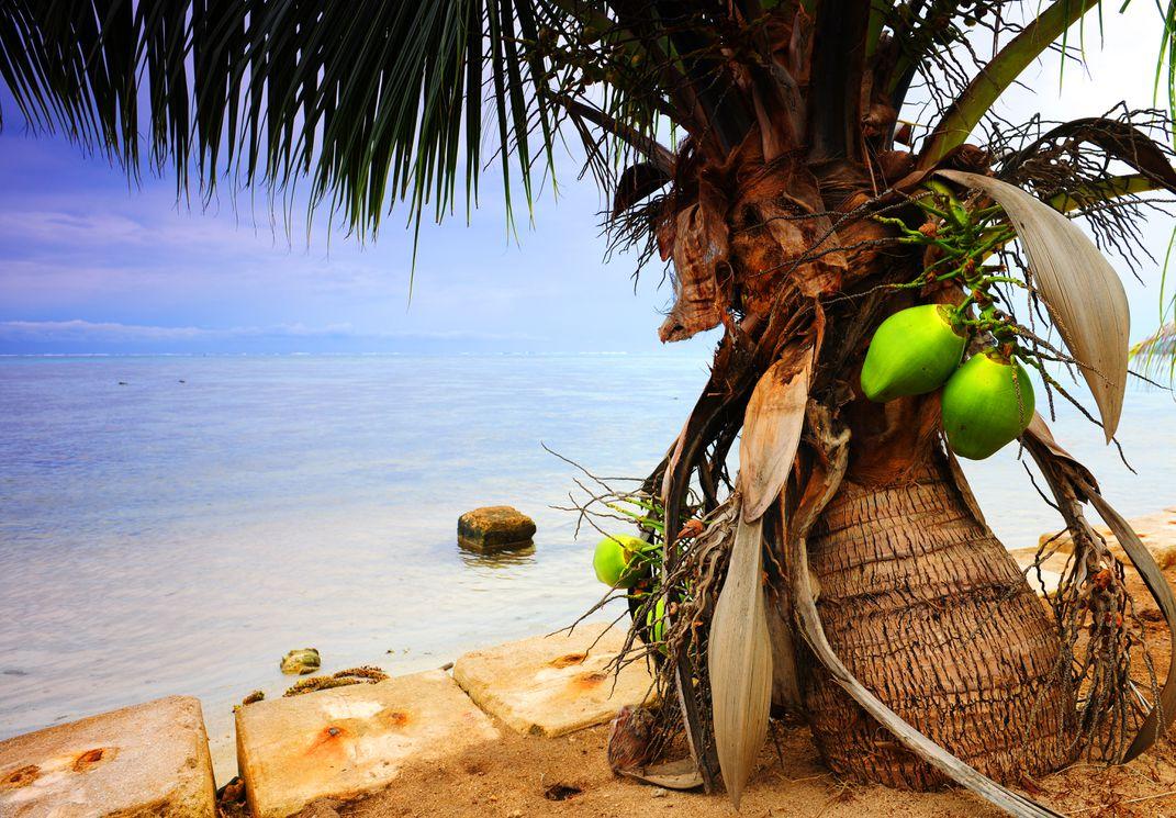 Plante o coqueiro anão em locais quentes