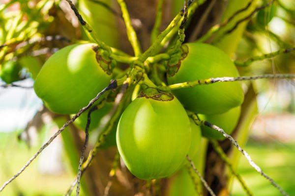 Coco verde no coqueiro anão