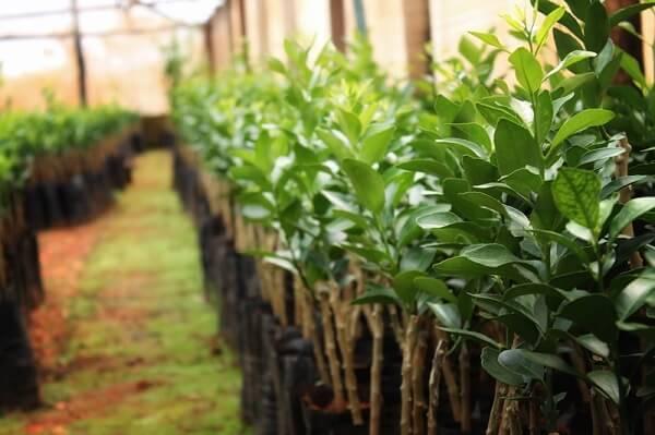 As condições climáticas da região influenciam no desenvolvimento das plantas do viveiro de mudas frutíferas