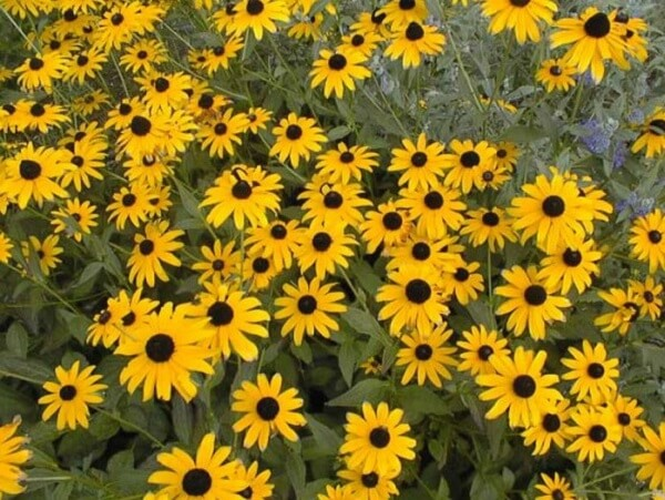 É difícil não se apaixonar pela flor margarida amarela