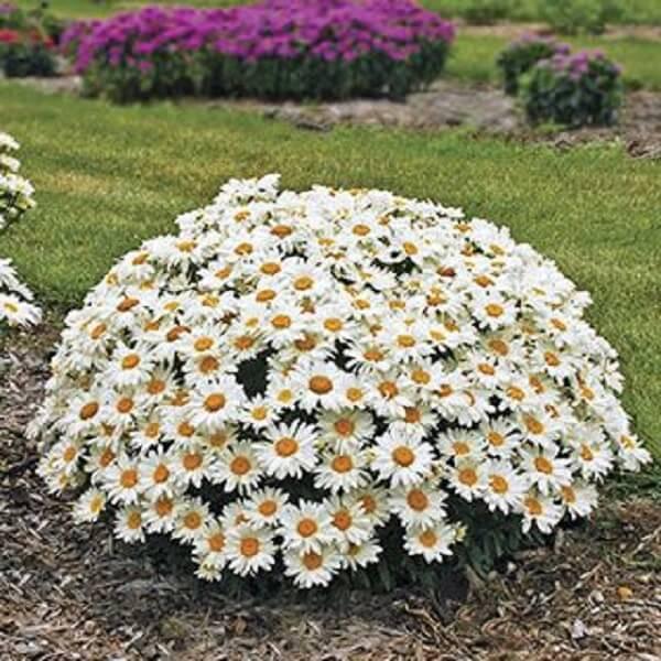 A flor margarida é ótima para forrar canteiros
