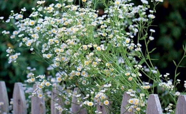 A mini margarida decora o canteiro do jardim