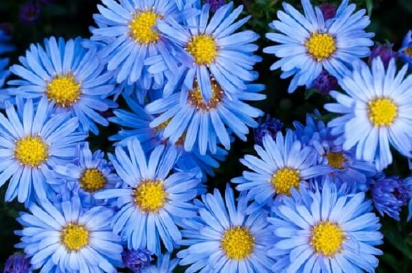 As margaridas coloridas em tom azul se destacam no ambiente