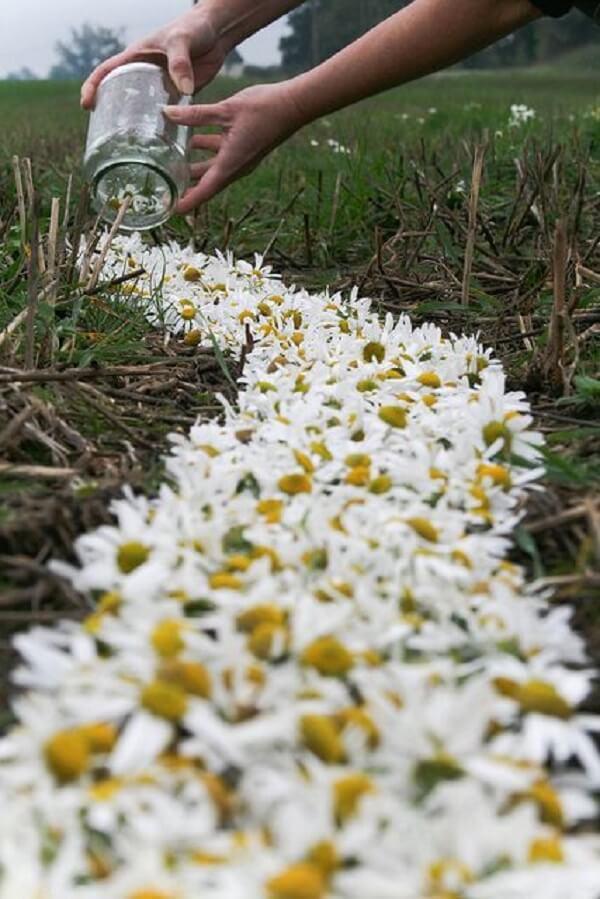 Campos de margaridas enchem a paisagem de delicadeza