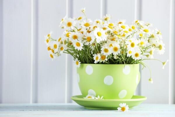 De origem europeia, a planta margarida gosta de sol pleno e é tolerante ao frio