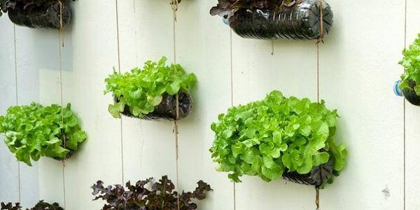 As folhas de alface da horta com garrafa PET trazem cor para a parede da casa