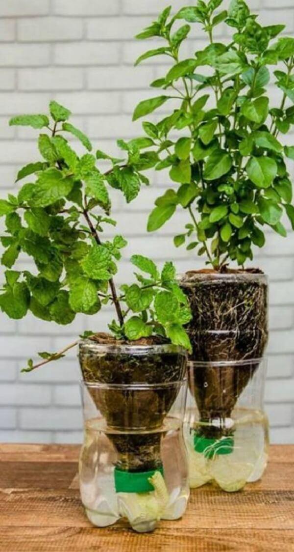 Temperos cultivados em mini horta com garrafa pet