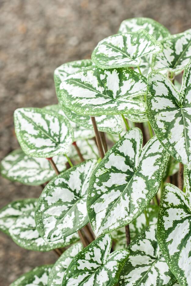 Caladium branca para jardim moderno