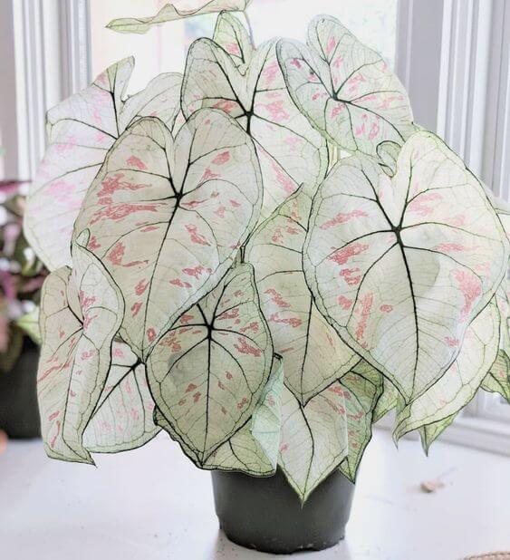 Caladium branco e rosa da planta na sala de estar