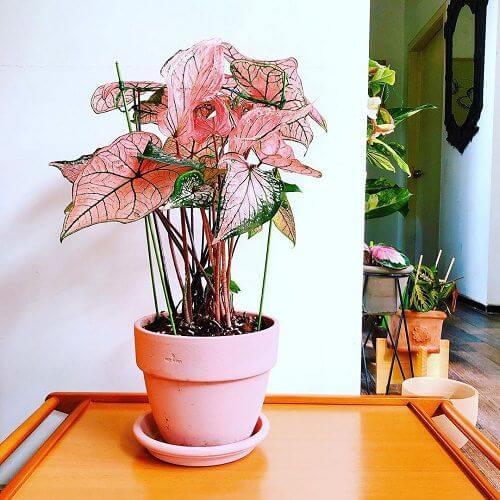 Caladium rosa com vaso da mesma cor
