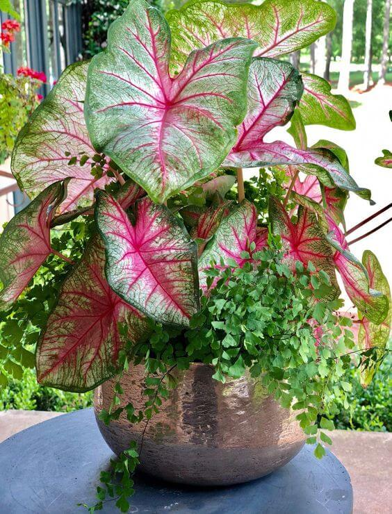 Caladium rosa e verde no vaso