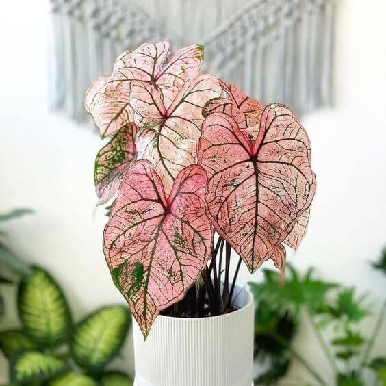 Caladium rosa para decoração charmosa
