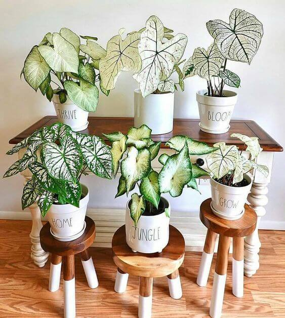 Casa com plantas caladium de diferentes tamanhos