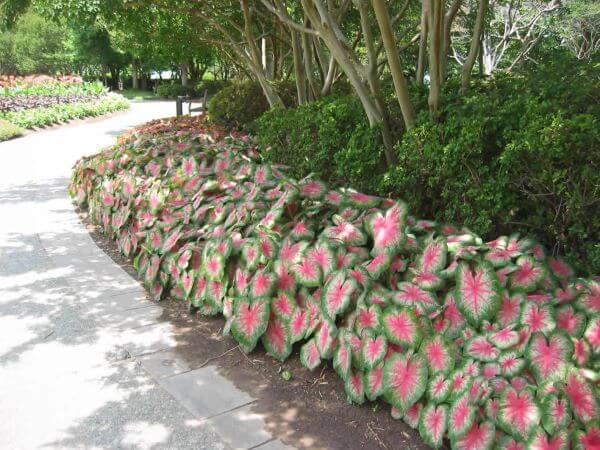 Jardim com caladium no caminho moderno