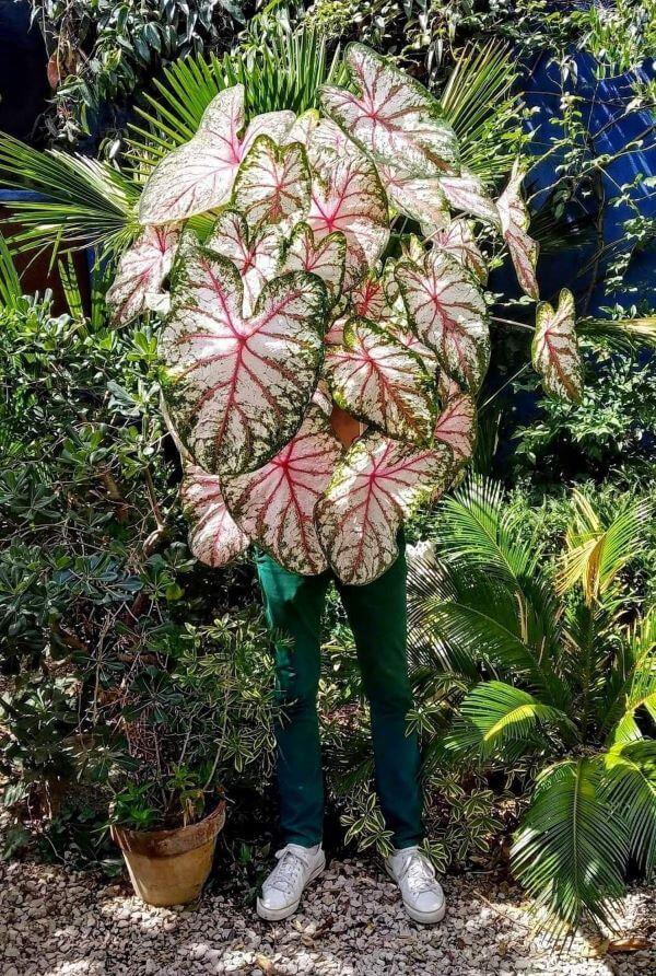 Jardim com caladium rosa charmosa