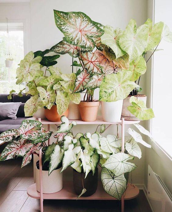 Plantas na decoração com caladium