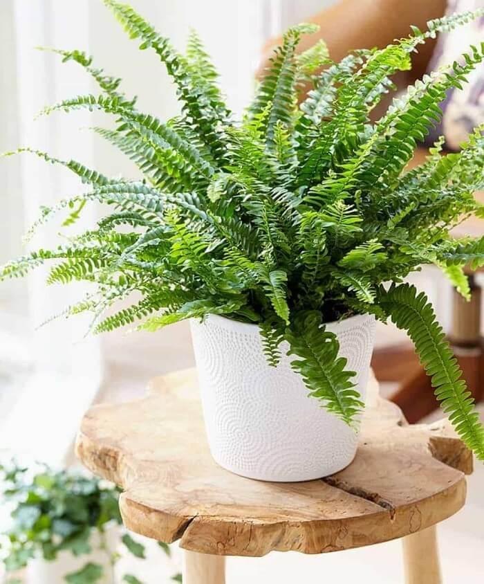 Plantas que protegem sua casa: as samambaias absorvem energias negativas