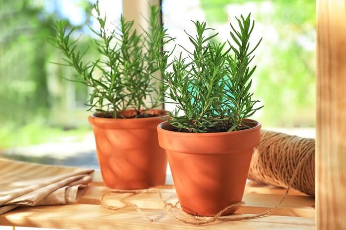 Plantas que protegem sua casa: o alecrim atrai amores sinceros e felicidade