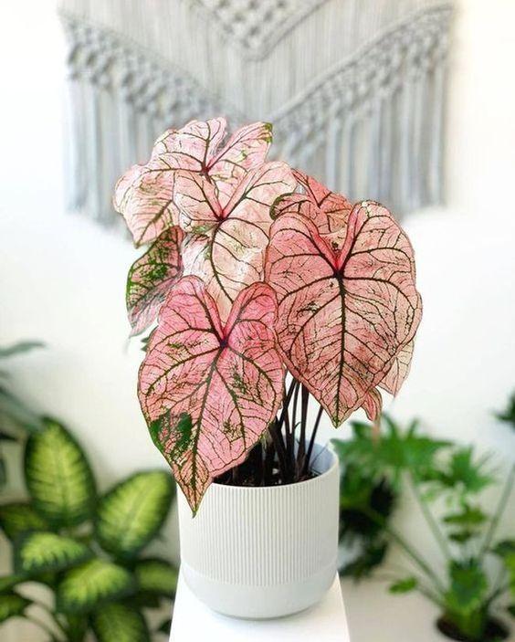 Vaso branco com caladium rosa