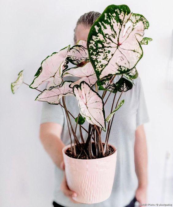 Vaso com caladium rosa e verde